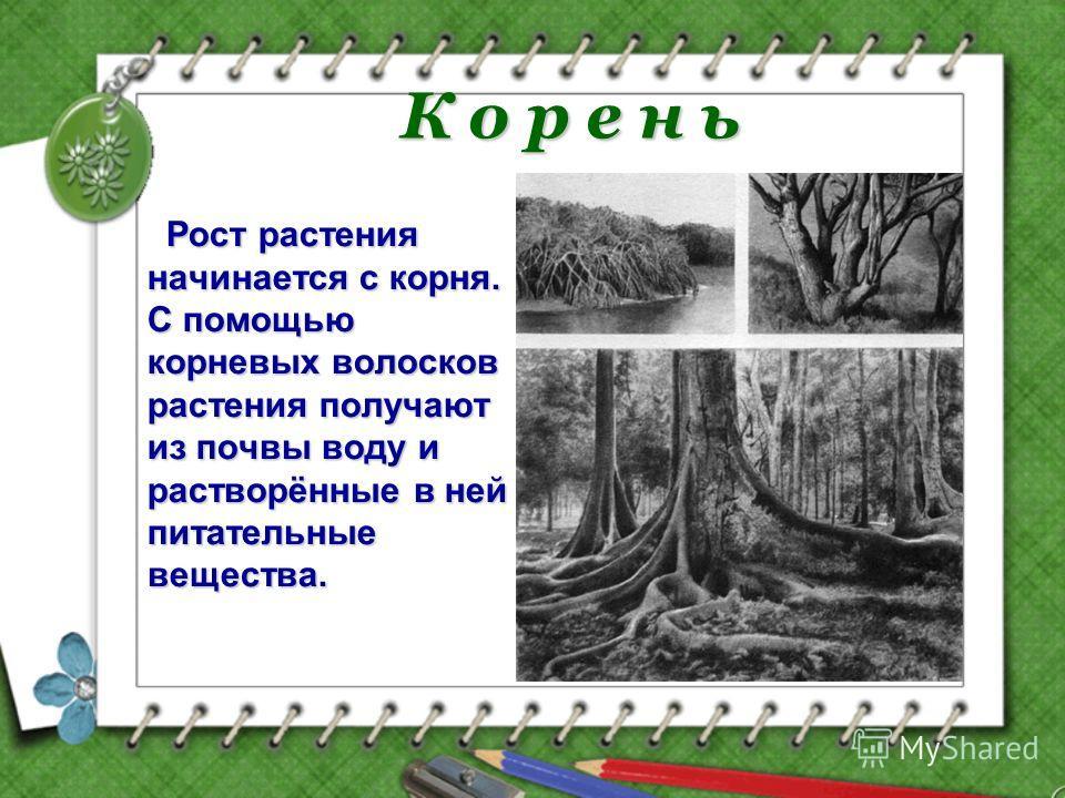 К о р е н ь Рост растения начинается с корня. С помощью корневых волосков растения получают из почвы воду и растворённые в ней питательные вещества.