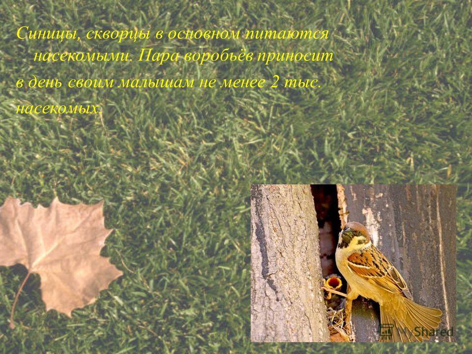 Синицы, скворцы в основном питаются насекомыми. Пара воробьёв приносит в день своим малышам не менее 2 тыс. насекомых.