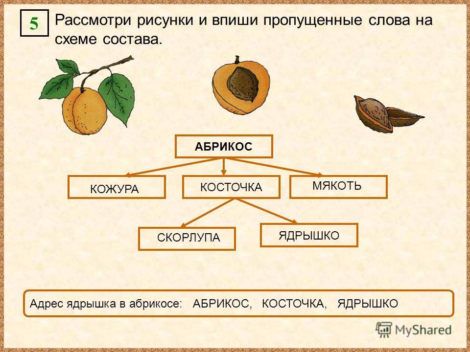 5 Рассмотри рисунки и впиши пропущенные слова на схеме состава. АБРИКОС КОСТОЧКА ЯДРЫШКО КОЖУРА МЯКОТЬ СКОРЛУПА Адрес ядрышка в абрикосе: АБРИКОС, КОСТОЧКА, ЯДРЫШКО