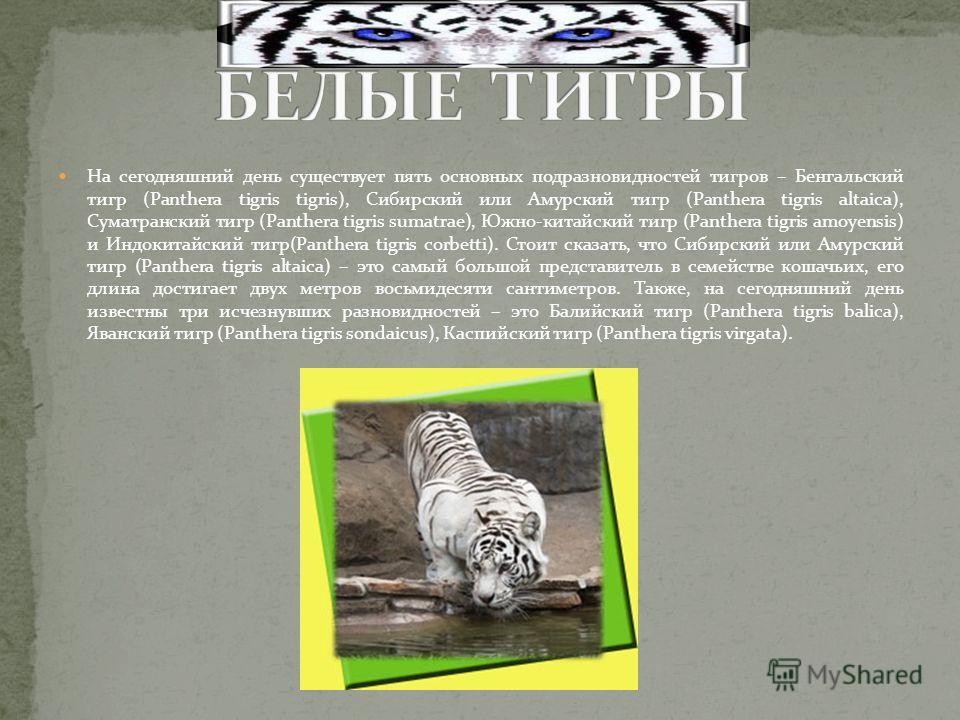 На сегодняшний день существует пять основных подразновидностей тигров – Бенгальский тигр (Panthera tigris tigris), Сибирский или Амурский тигр (Panthera tigris altaica), Суматранский тигр (Panthera tigris sumatrae), Южно-китайский тигр (Panthera tigr