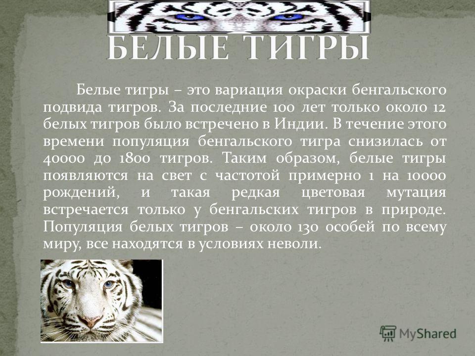 Белые тигры – это вариация окраски бенгальского подвида тигров. За последние 100 лет только около 12 белых тигров было встречено в Индии. В течение этого времени популяция бенгальского тигра снизилась от 40000 до 1800 тигров. Таким образом, белые тиг