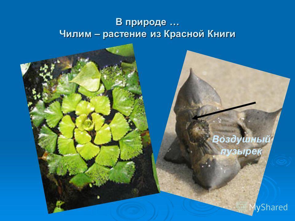 В природе … Чилим – растение из Красной Книги Воздушный пузырек