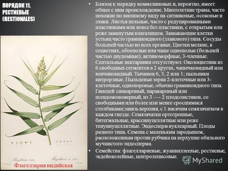 Близок к порядку коммелиновых и, вероятно, имеет общее с ним происхождение. Многолетние травы, часто похожие по внешнему виду на ситниковые, осоковые и злаки. Листья цельные, часто с редуцированными пластинками или вовсе без пластинки, с открытым или