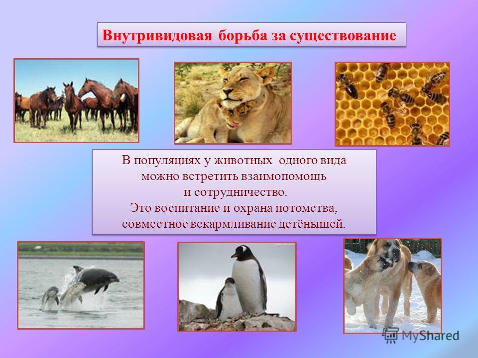 Внутривидовая борьба за существование В популяциях у животных одного вида можно встретить взаимопомощь и сотрудничество. Это воспитание и охрана потомства, совместное вскармливание детёнышей. В популяциях у животных одного вида можно встретить взаимо