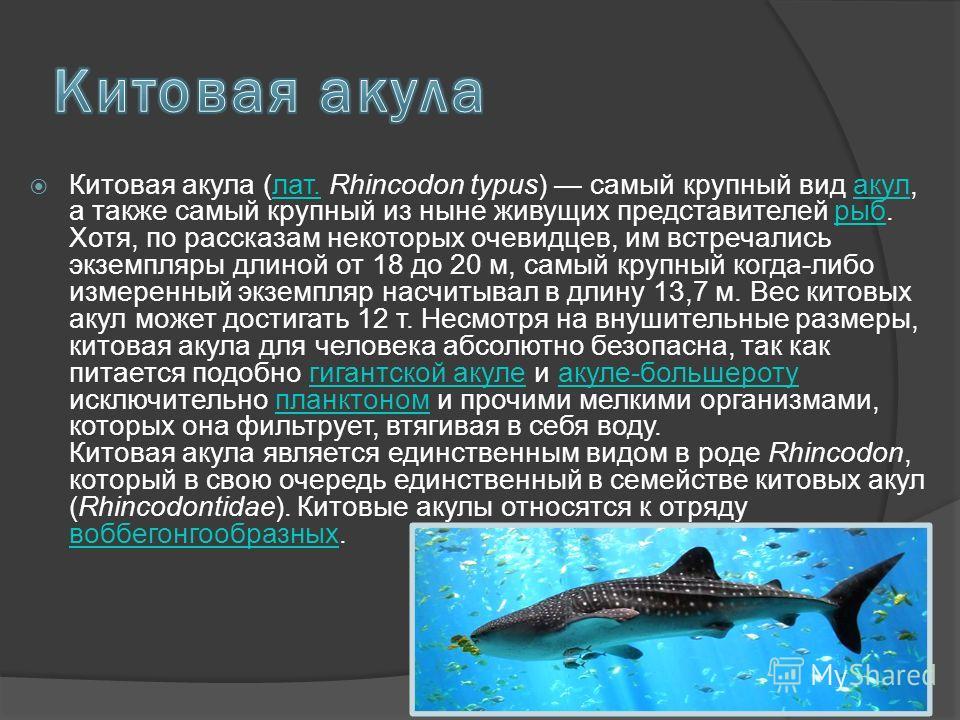 Китовая акула (лат. Rhincodon typus) самый крупный вид акул, а также самый крупный из ныне живущих представителей рыб. Хотя, по рассказам некоторых очевидцев, им встречались экземпляры длиной от 18 до 20 м, самый крупный когда-либо измеренный экземпл