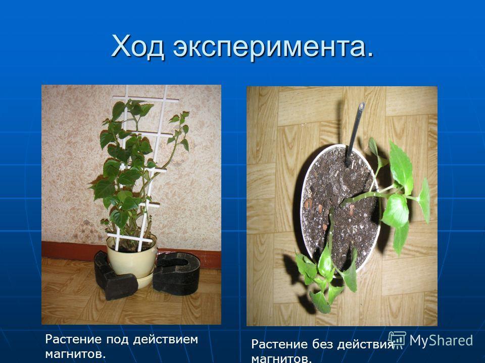 Ход эксперимента. Растение под действием магнитов. Растение без действия магнитов.