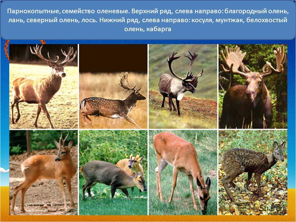 Парнокопытные, семейство оленевые. Верхний ряд, слева направо: благородный олень, лань, северный олень, лось. Нижний ряд, слева направо: косуля, мунтжак, белохвостый олень, кабарга