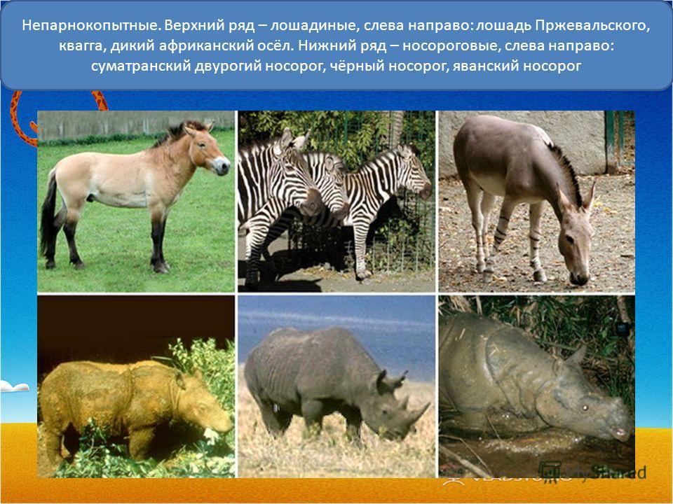 Непарнокопытные. Верхний ряд – лошадиные, слева направо: лошадь Пржевальского, квагга, дикий африканский осёл. Нижний ряд – носороговые, слева направо: суматранский двурогий носорог, чёрный носорог, яванский носорог