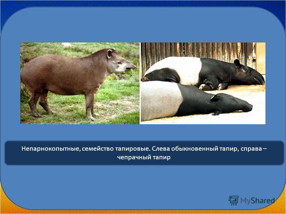 Непарнокопытные, семейство тапировые. Слева обыкновенный тапир, справа – чепрачный тапир