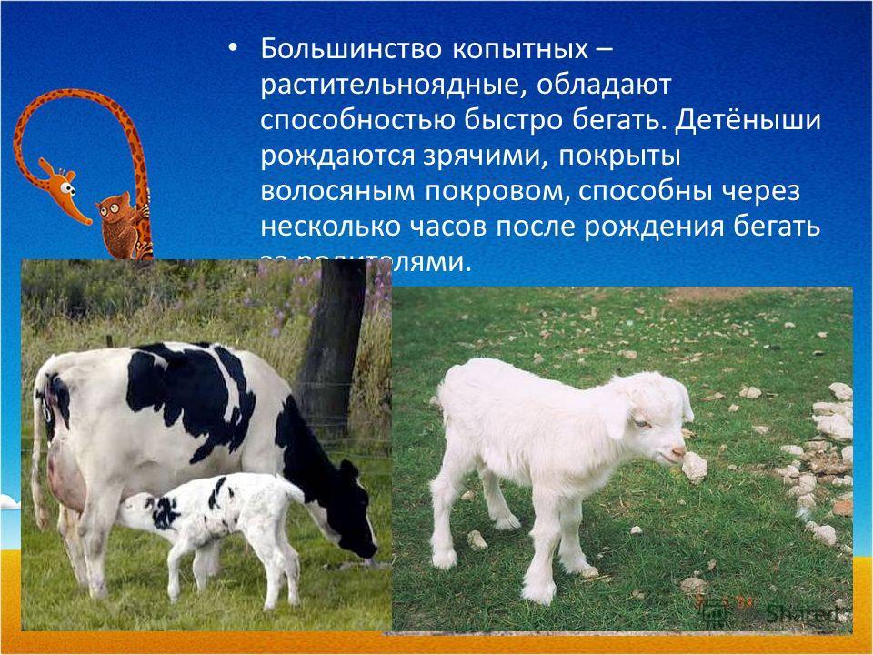 Большинство копытных – растительноядные, обладают способностью быстро бегать. Детёныши рождаются зрячими, покрыты волосяным покровом, способны через несколько часов после рождения бегать за родителями.