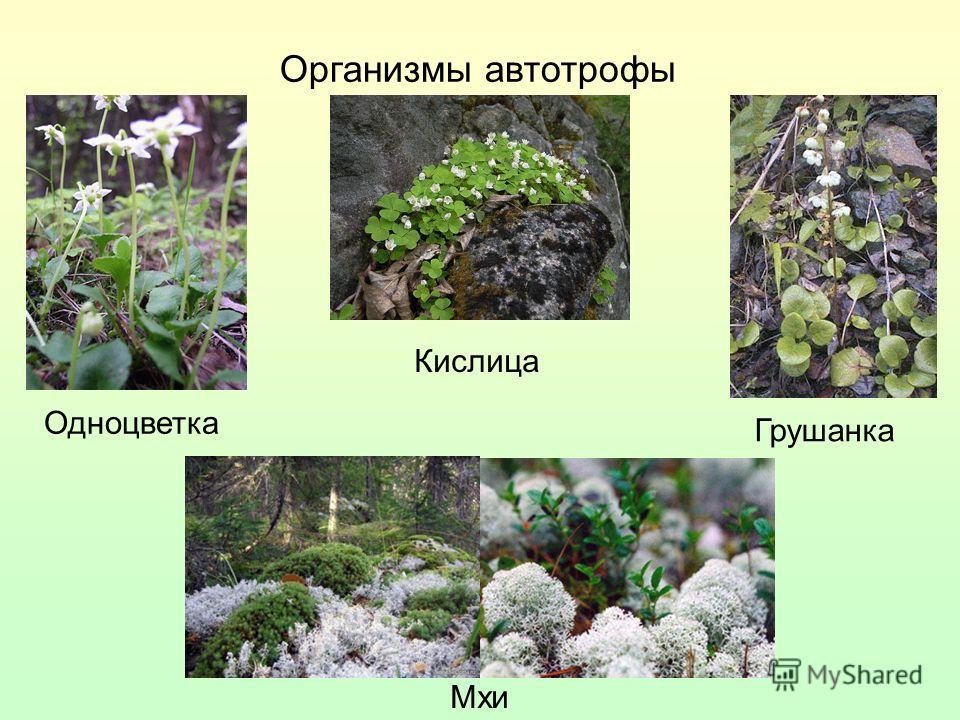 Организмы автотрофы Кислица Одноцветка Мхи Грушанка