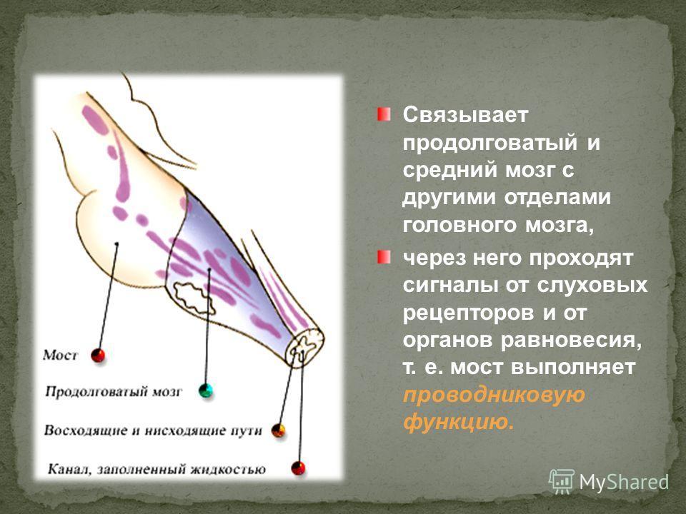 Связывает продолговатый и средний мозг с другими отделами головного мозга, через него проходят сигналы от слуховых рецепторов и от органов равновесия, т. е. мост выполняет проводниковую функцию.