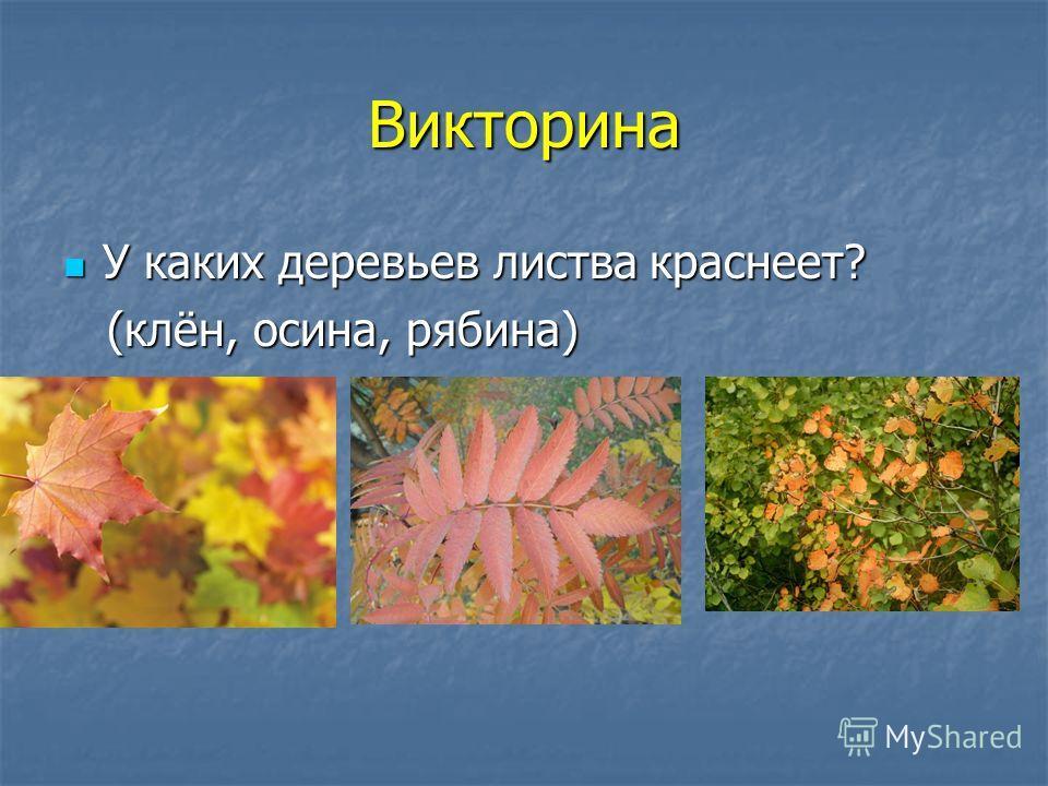 Викторина У каких деревьев листва краснеет? У каких деревьев листва краснеет? (клён, осина, рябина) (клён, осина, рябина)
