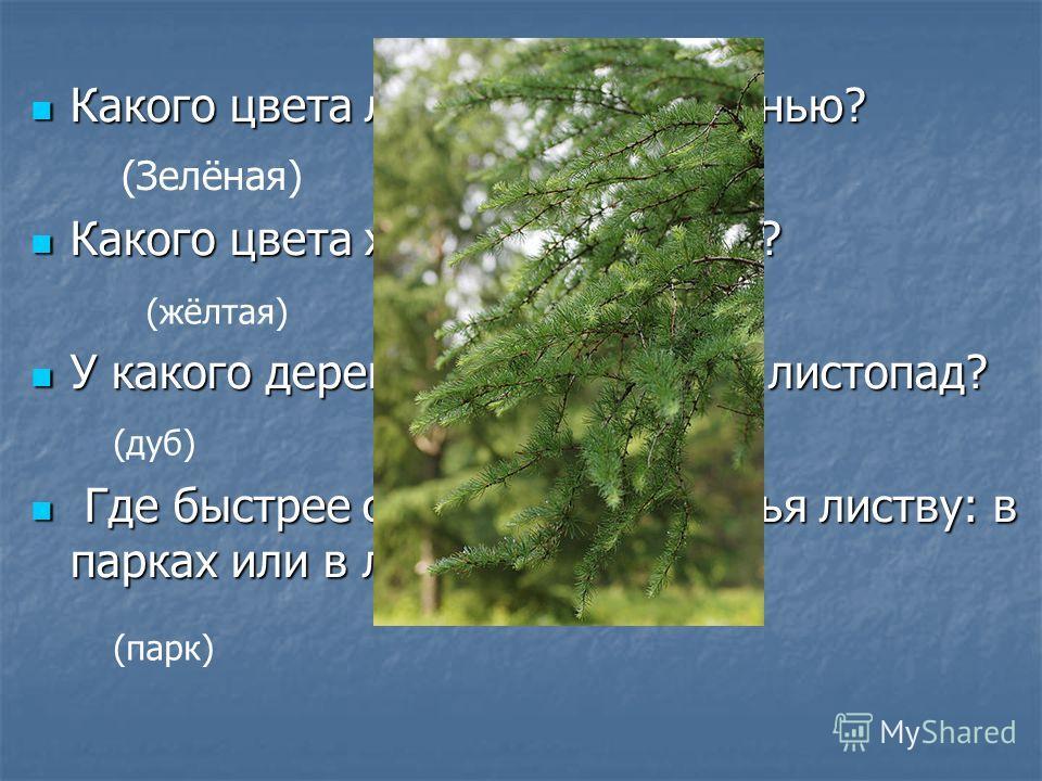 Какого цвета листва сирени осенью? Какого цвета листва сирени осенью? Какого цвета хвоя лиственницы? Какого цвета хвоя лиственницы? У какого дерева самый поздний листопад? У какого дерева самый поздний листопад? Где быстрее сбрасывают деревья листву: