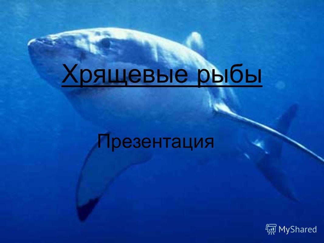 Хрящевые рыбы Презентация