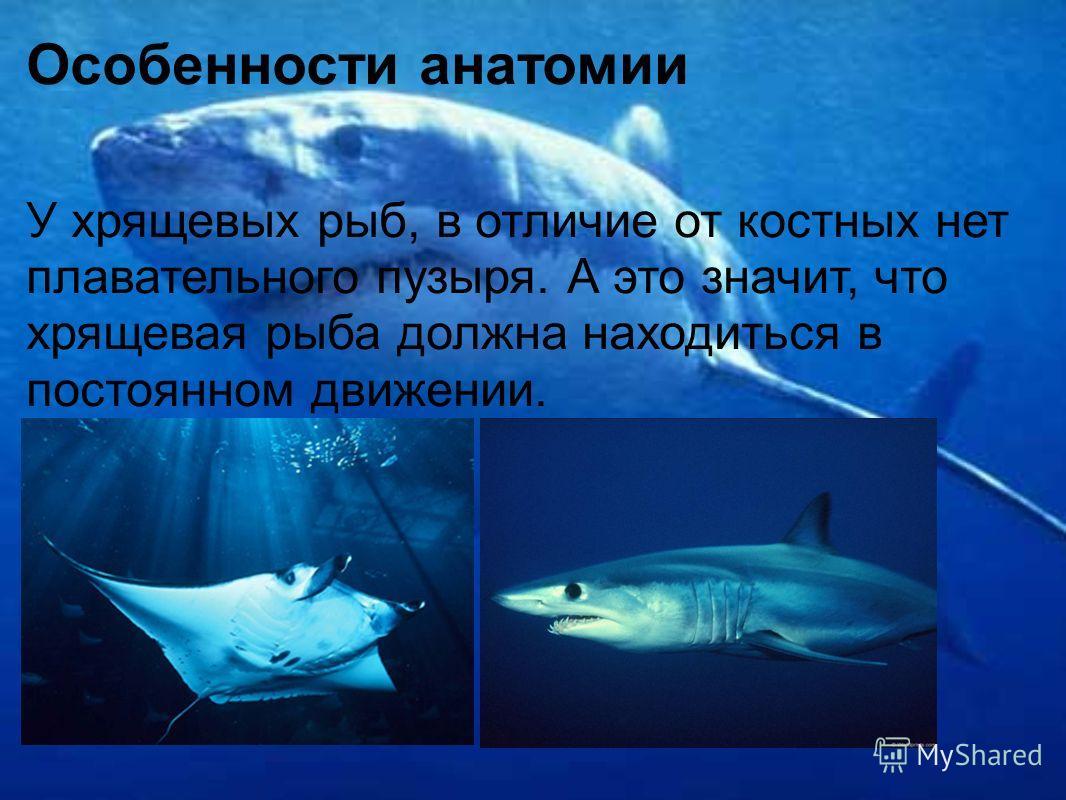 Особенности анатомии У хрящевых рыб, в отличие от костных нет плавательного пузыря. А это значит, что хрящевая рыба должна находиться в постоянном движении.