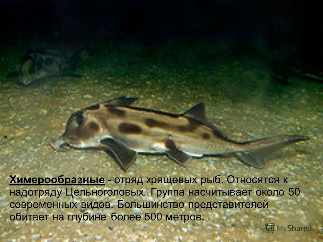 Химерообразные - отряд хрящевых рыб. Относятся к надотряду Цельноголовых. Группа насчитывает около 50 современных видов. Большинство представителей обитает на глубине более 500 метров.