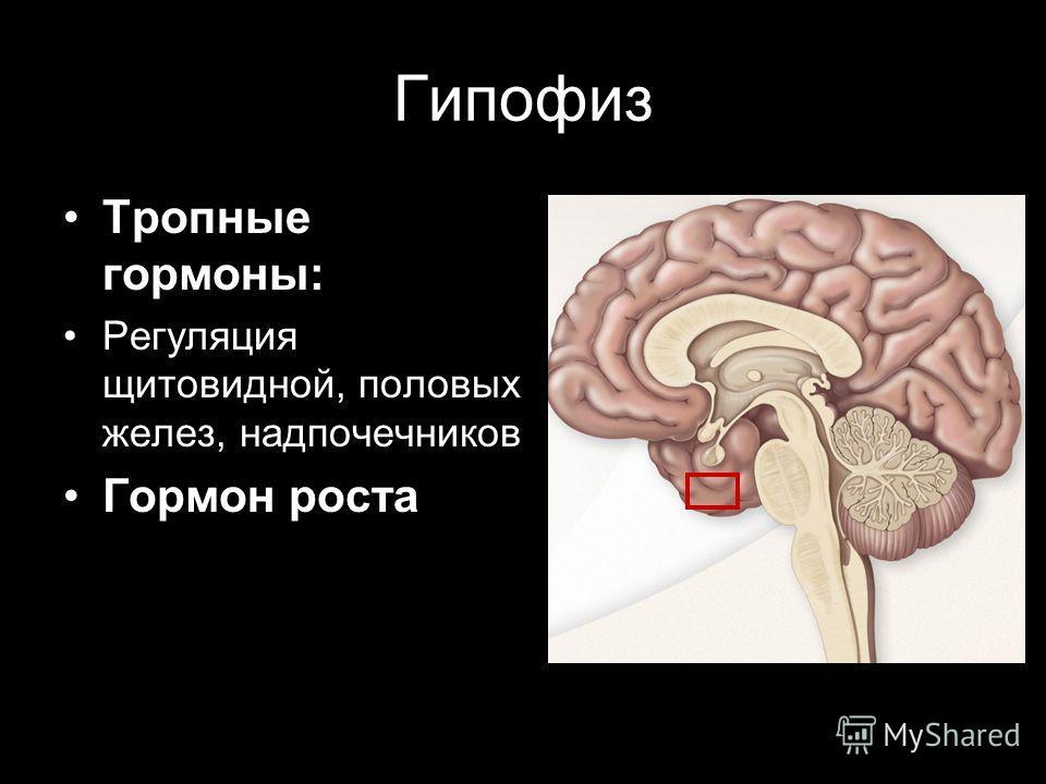 Гипофиз Тропные гормоны: Регуляция щитовидной, половых желез, надпочечников Гормон роста