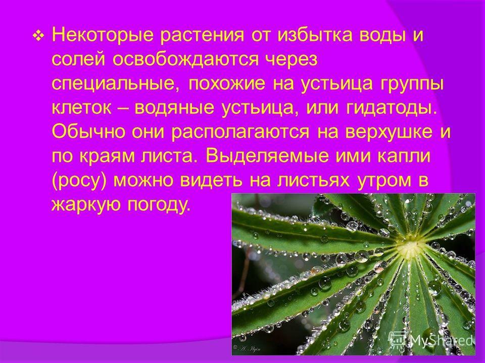 Некоторые растения от избытка воды и солей освобождаются через специальные, похожие на устьица группы клеток – водяные устьица, или гидатоды. Обычно они располагаются на верхушке и по краям листа. Выделяемые ими капли (росу) можно видеть на листьях у