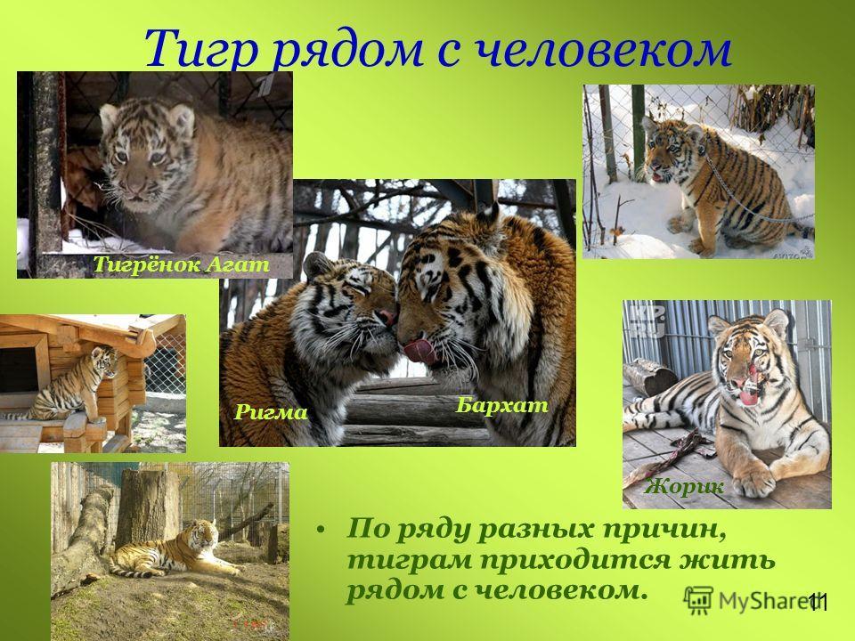 Тигр рядом с человеком По ряду разных причин, тиграм приходится жить рядом с человеком. Тигрёнок Агат Ригма Бархат 1 Жорик