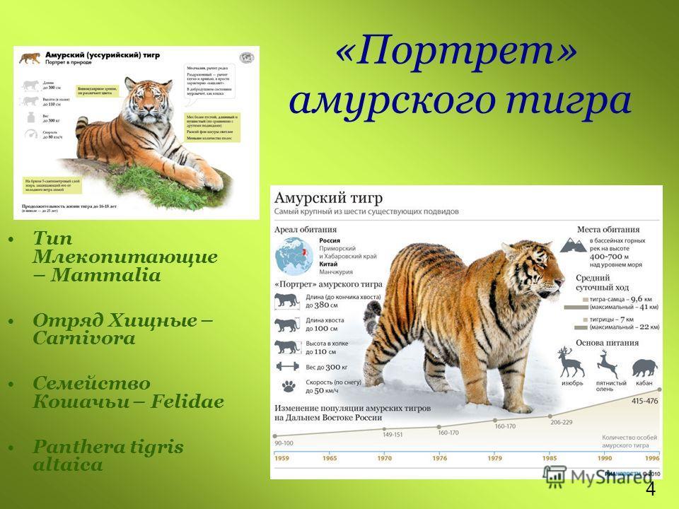 «Портрет» амурского тигра Тип Млекопитающие – Mammalia Отряд Хищные – Carnivora Семейство Кошачьи – Felidae Panthera tigris altaica 4