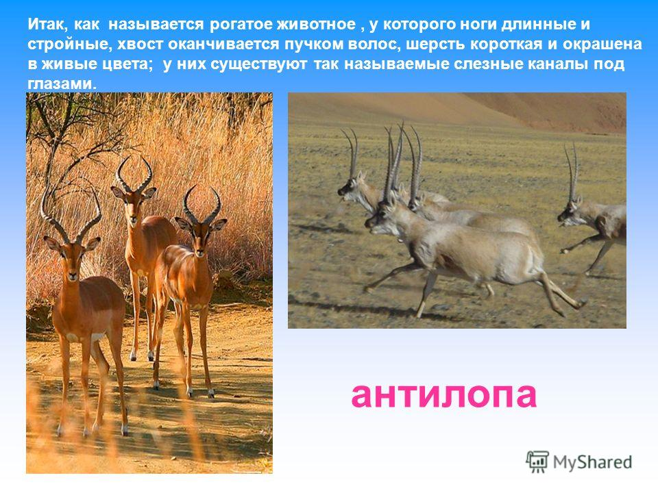 Итак, как называется рогатое животное, у которого ноги длинные и стройные, хвост оканчивается пучком волос, шерсть короткая и окрашена в живые цвета; у них существуют так называемые слезные каналы под глазами. антилопа
