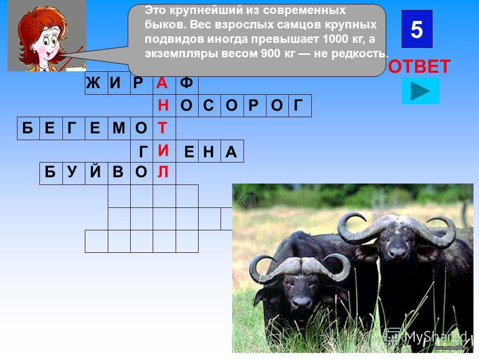 ЖИРФА ОНСООРГ БЕГЕМОТ Г И ЕНА 5 ОТВЕТ БУЙВОЛ Это крупнейший из современных быков. Вес взрослых самцов крупных подвидов иногда превышает 1000 кг, а экземпляры весом 900 кг не редкость.
