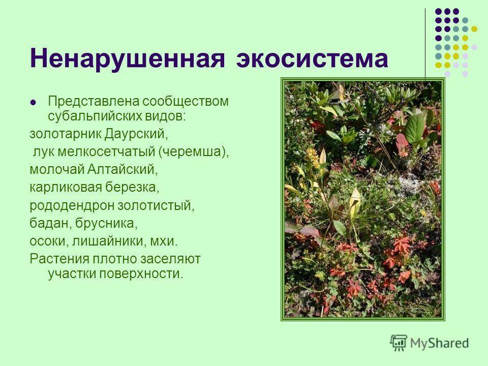 Ненарушенная экосистема Представлена сообществом субальпийских видов: золотарник Даурский, лук мелкосетчатый (черемша), молочай Алтайский, карликовая березка, рододендрон золотистый, бадан, брусника, осоки, лишайники, мхи. Растения плотно заселяют уч