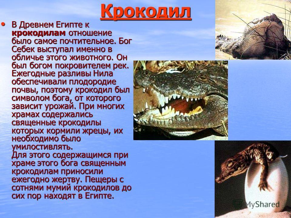 Крокодил В Древнем Египте к крокодилам отношение было самое почтительное. Бог Себек выступал именно в обличье этого животного. Он был богом покровителем рек. Ежегодные разливы Нила обеспечивали плодородие почвы, поэтому крокодил был символом бога, от