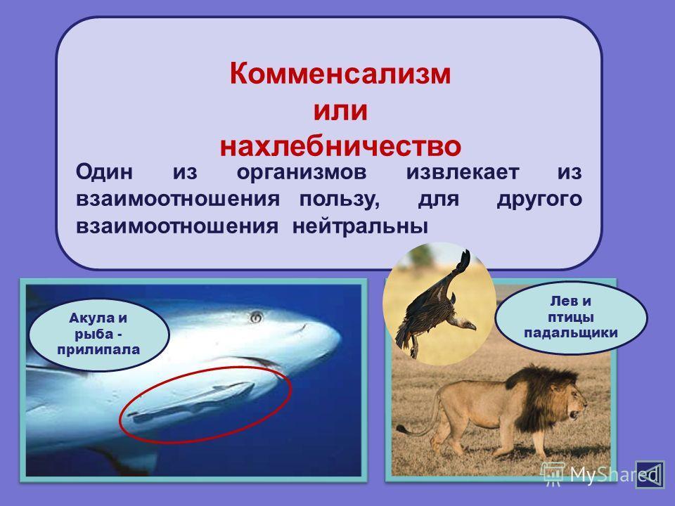 Один из организмов извлекает из взаимоотношения пользу, для другого взаимоотношения нейтральны Комменсализм или нахлебничество Акула и рыба - прилипала Лев и птицы падальщики