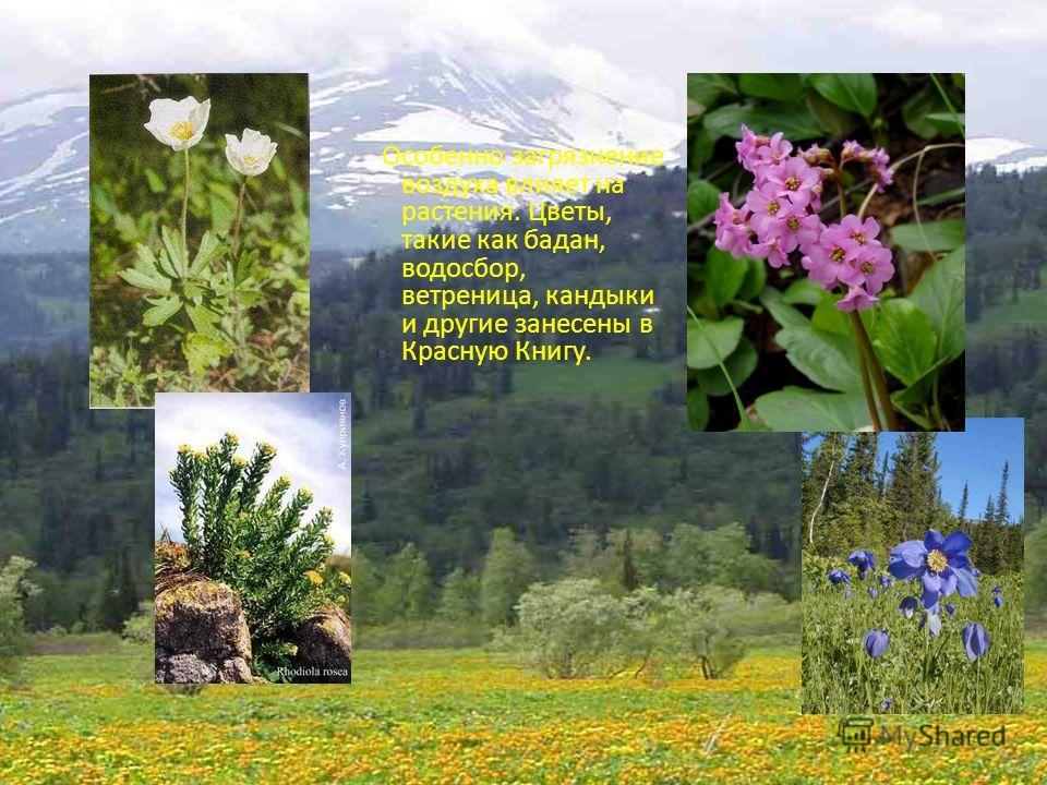 Особенно загрязнение воздуха влияет на растения. Цветы, такие как бадан, водосбор, ветреница, кандыки и другие занесены в Красную Книгу.