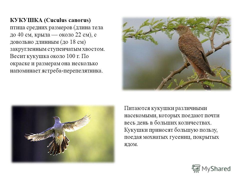 КУКУШКА (Cuculus canorus) птица средних размеров (длина тела до 40 см, крыла около 22 см), с довольно длинным (до 18 см) закругленным ступенчатым хвостом. Весит кукушка около 100 г. По окраске и размерам она несколько напоминает ястреба-перепелятника
