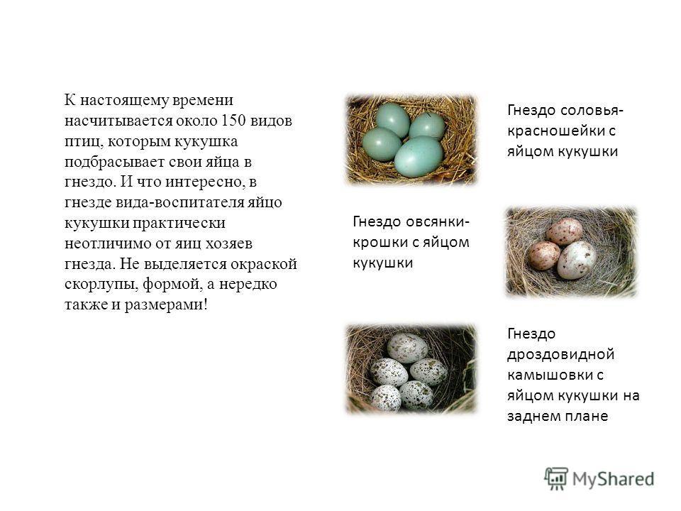К настоящему времени насчитывается около 150 видов птиц, которым кукушка подбрасывает свои яйца в гнездо. И что интересно, в гнезде вида-воспитателя яйцо кукушки практически неотличимо от яиц хозяев гнезда. Не выделяется окраской скорлупы, формой, а