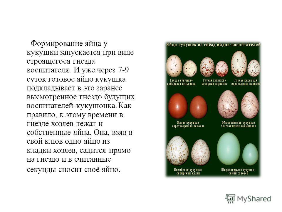 Формирование яйца у кукушки запускается при виде строящегося гнезда воспитателя. И уже через 7-9 суток готовое яйцо кукушка подкладывает в это заранее высмотренное гнездо будущих воспитателей кукушонка. Как правило, к этому времени в гнезде хозяев ле