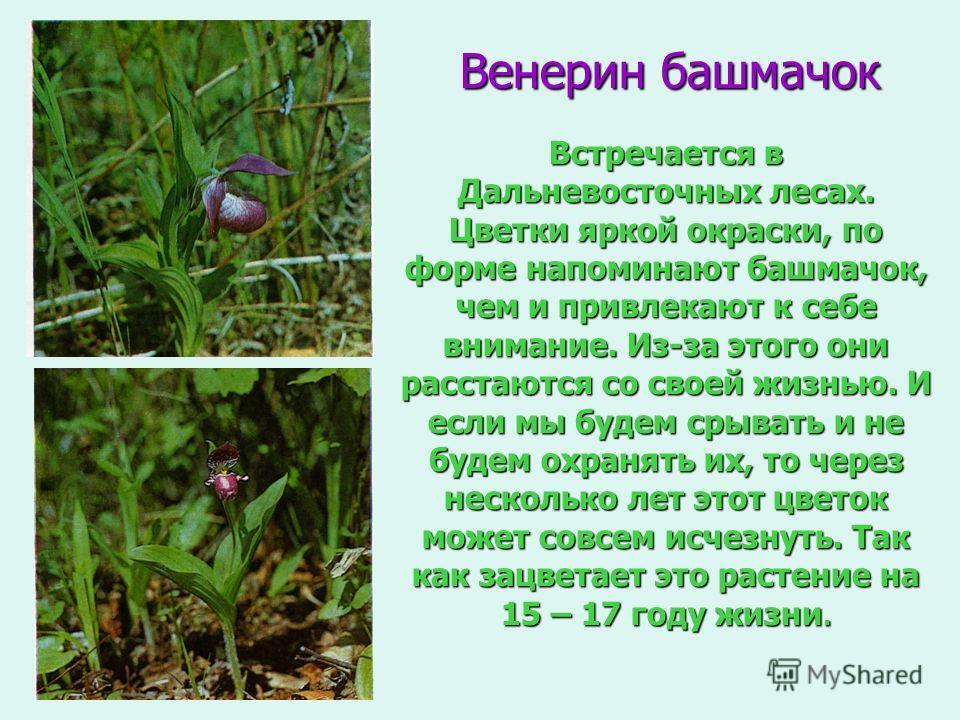 Венерин башмачок Встречается в Дальневосточных лесах. Цветки яркой окраски, по форме напоминают башмачок, чем и привлекают к себе внимание. Из-за этого они расстаются со своей жизнью. И если мы будем срывать и не будем охранять их, то через несколько