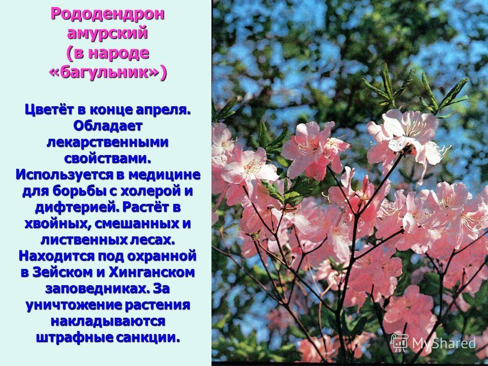 Рододендрон амурский (в народе «багульник») Цветёт в конце апреля. Обладает лекарственными свойствами. Используется в медицине для борьбы с холерой и дифтерией. Растёт в хвойных, смешанных и лиственных лесах. Находится под охранной в Зейском и Хинган