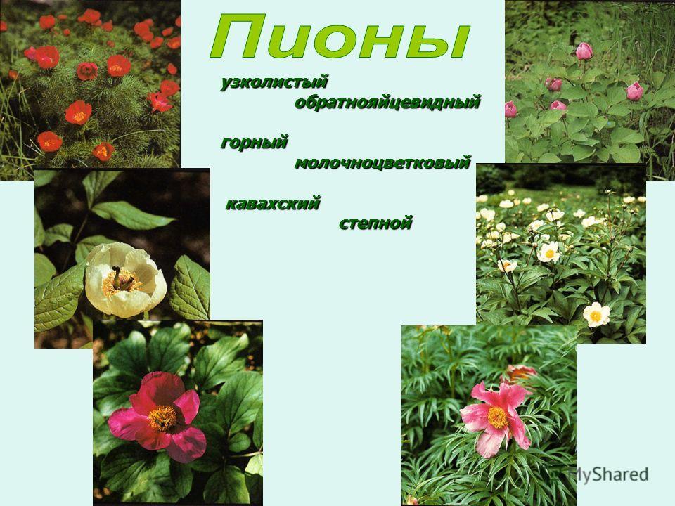 узколистый обратнояйцевидный горный молочноцветковый кавахский степной