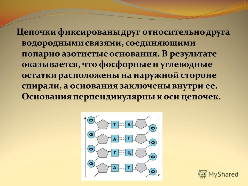 Цепочки фиксированы друг относительно друга водородными связями, соединяющими попарно азотистые основания. В результате оказывается, что фосфорные и углеводные остатки расположены на наружной стороне спирали, а основания заключены внутри ее. Основани
