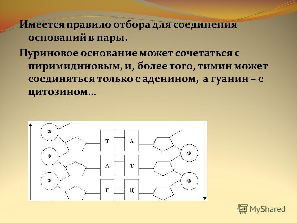 Имеется правило отбора для соединения оснований в пары. Пуриновое основание может сочетаться с пиримидиновым, и, более того, тимин может соединяться только с аденином, а гуанин – с цитозином…