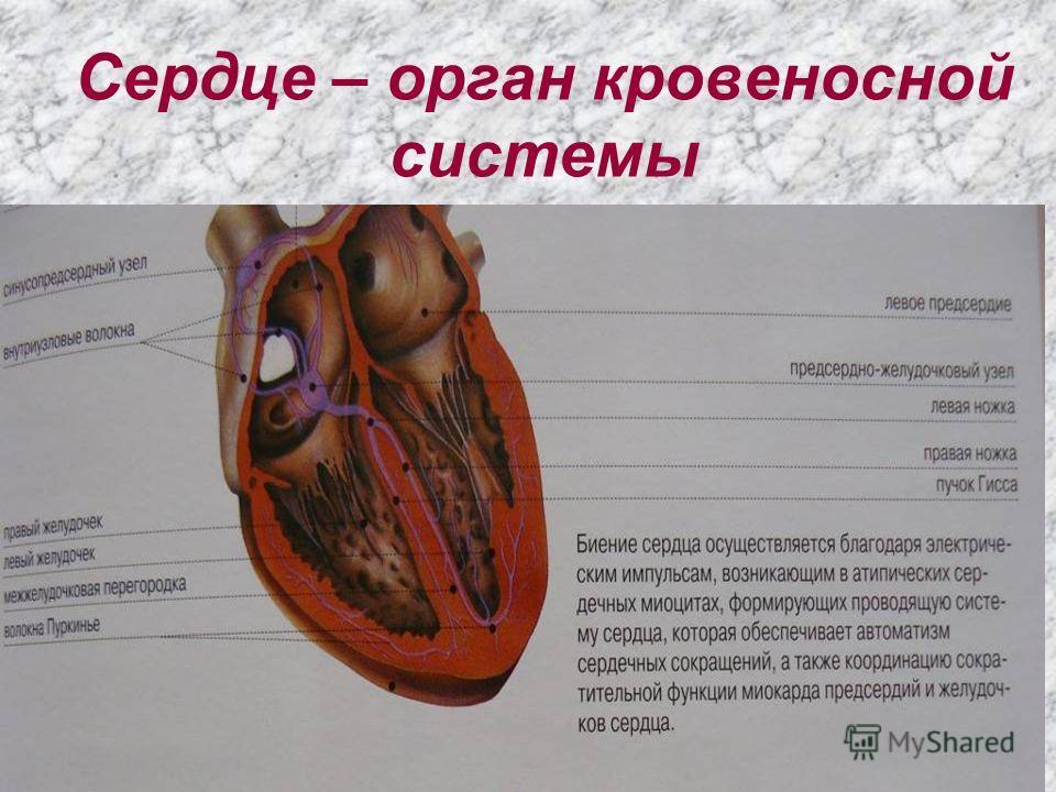 Сердце – орган кровеносной системы