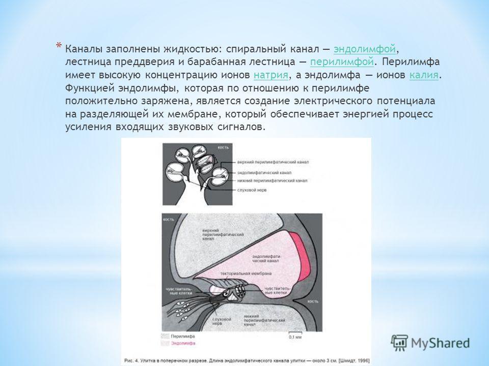 * Каналы заполнены жидкостью: спиральный канал эндолимфой, лестница преддверия и барабанная лестница перилимфой. Перилимфа имеет высокую концентрацию ионов натрия, а эндолимфа ионов калия. Функцией эндолимфы, которая по отношению к перилимфе положите
