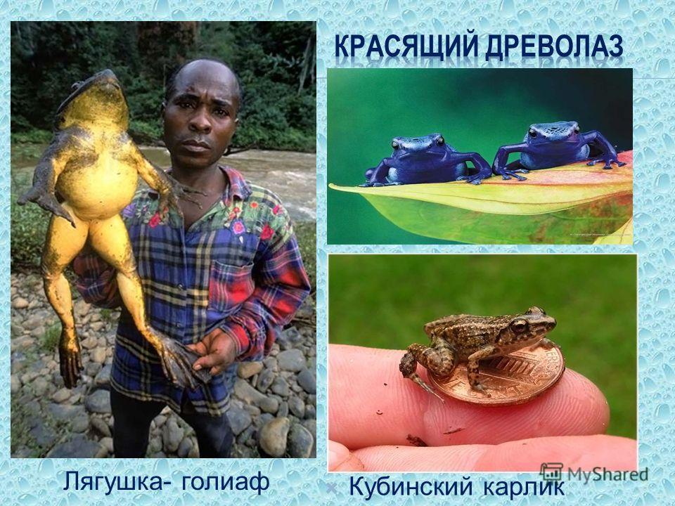Лягушка- голиаф Кубинский карлик