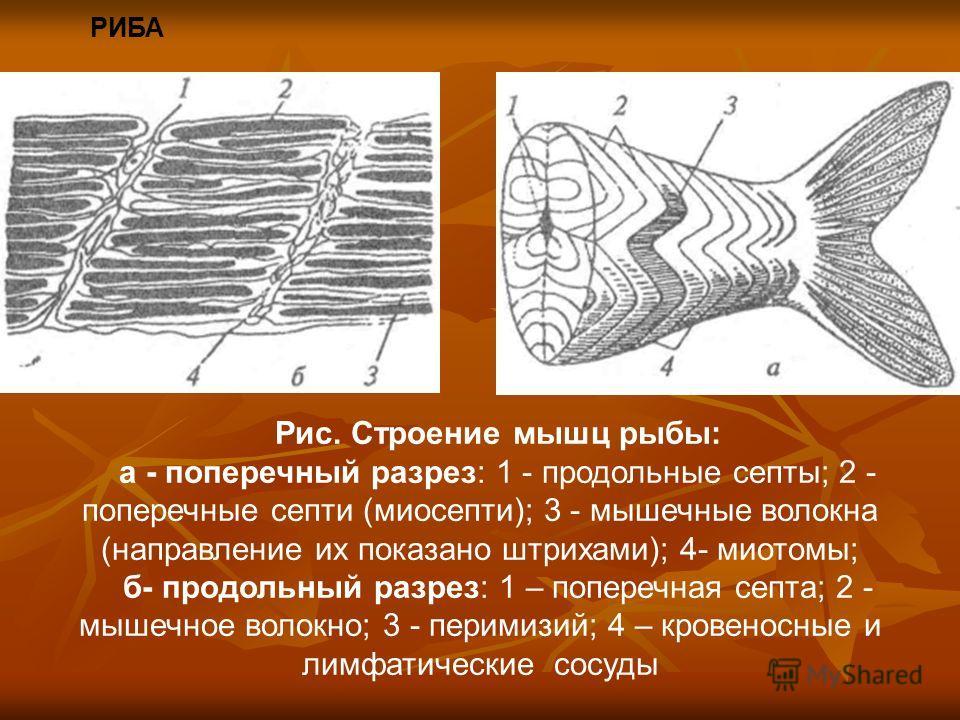 РИБА Рис. Строение мышц рыбы: а - поперечный разрез: 1 - продольные септы; 2 - поперечные септи (миосепти); 3 - мышечные волокна (направление их показано штрихами); 4- миотомы; б- продольный разрез: 1 – поперечная септа; 2 - мышечное волокно; 3 - пер
