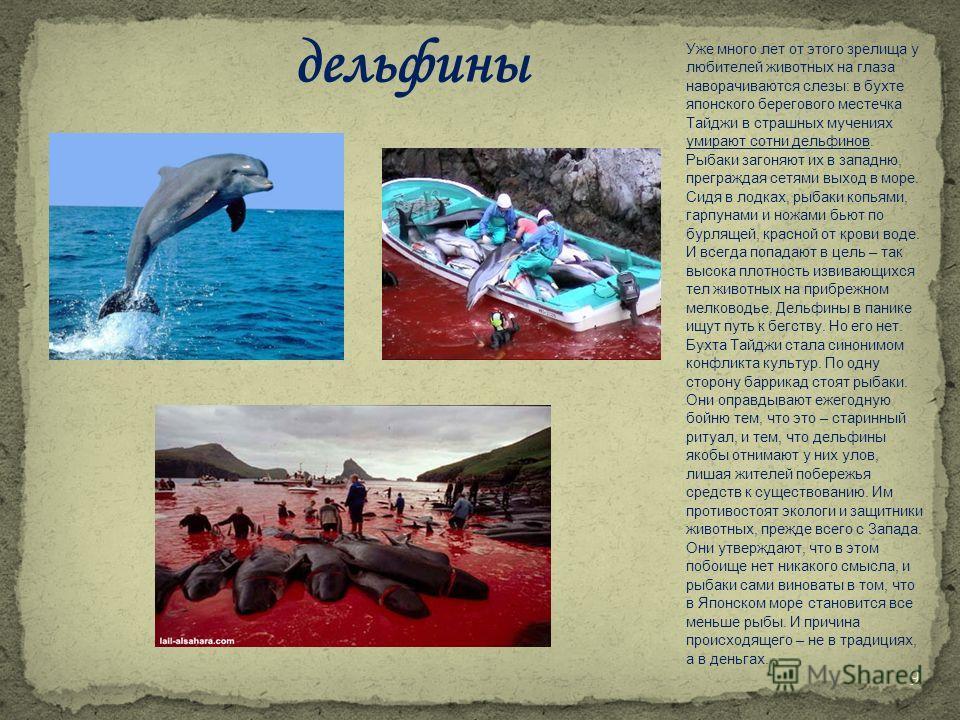 Уже много лет от этого зрелища у любителей животных на глаза наворачиваются слезы: в бухте японского берегового местечка Тайджи в страшных мучениях умирают сотни дельфинов. Рыбаки загоняют их в западню, преграждая сетями выход в море. Сидя в лодках,