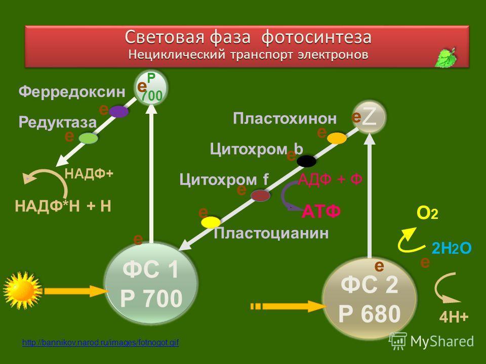 ФС 1 Р 700 ФС 2 Р 680 2Н 2 О О2О2 4Н+ Z Р 700 е Пластохинон Цитохром b АТФ АДФ + ФЦитохром f Пластоцианин Ферредоксин Редуктаза НАДФ*Н + Н НАДФ+ е Световая фаза фотосинтеза Нециклический транспорт электронов Световая фаза фотосинтеза Нециклический тр