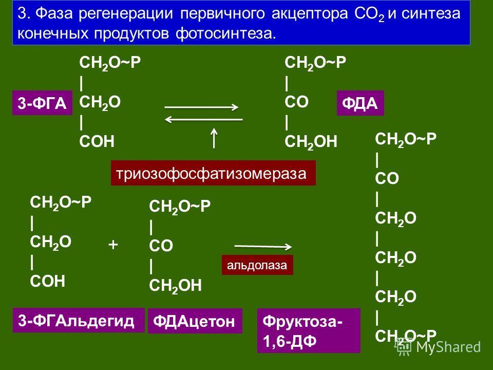 3. Фаза регенерации первичного акцептора СО 2 и синтеза конечных продуктов фотосинтеза. CH 2 O~P | CH 2 O | CОH 3-ФГA триозофосфатизомераза CH 2 O~P | CO | CH 2 OH ФДA CH 2 O~P | CH 2 O | CОH CH 2 O~P | CO | CH 2 OH 3-ФГAльдегид ФДAцетон + CH 2 O~P |