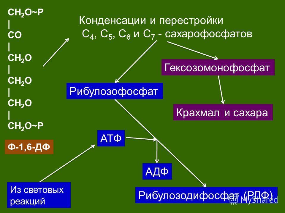 CH 2 O~P | CO | CH 2 O | CH 2 O | CH 2 O | CH 2 O~P Ф-1,6-ДФ Конденсации и перестройки С 4, С 5, С 6 и С 7 - сахарофосфатов Гексозомонофосфат Крахмал и сахара Рибулозофосфат Рибулозодифосфат (РДФ) АТФ АДФ Из световых реакций