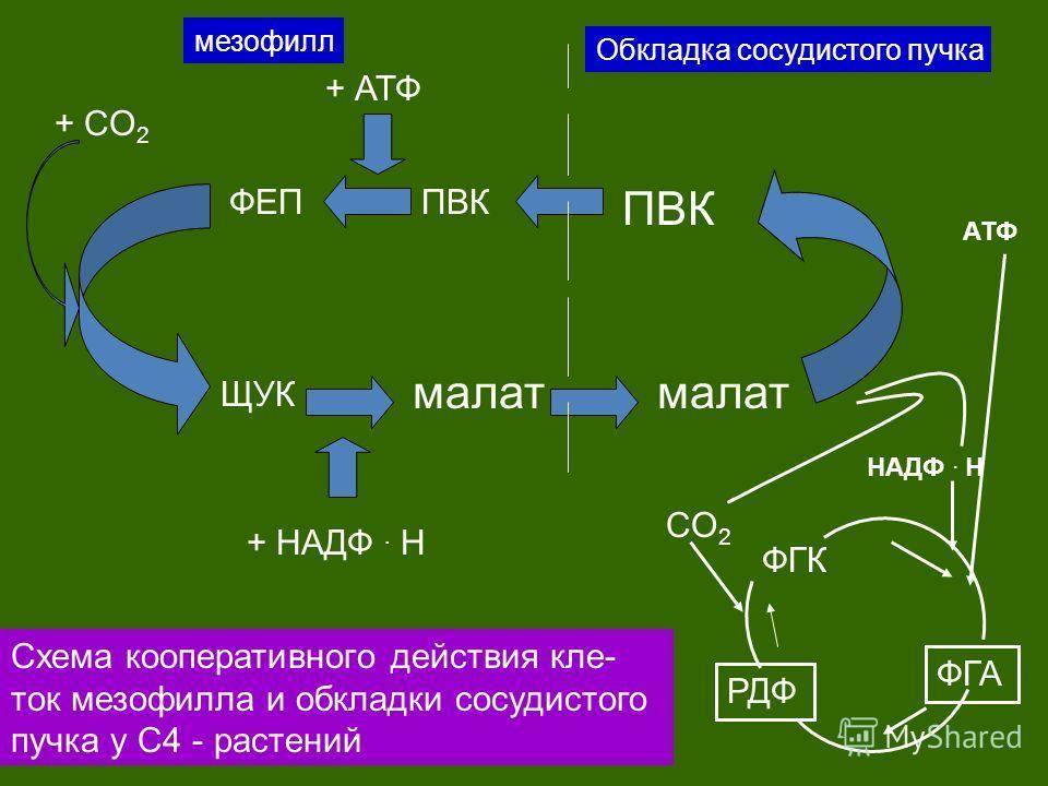 + CO 2 ФЕППВК ЩУК малат + АТФ + HAДФ. Н малат ПВК мезофилл Обкладка сосудистого пучка ФГА РДФ ФГК CO 2 HAДФ. Н АТФ Схема кооперативного действия кле- ток мезофилла и обкладки сосудистого пучка у С4 - растений