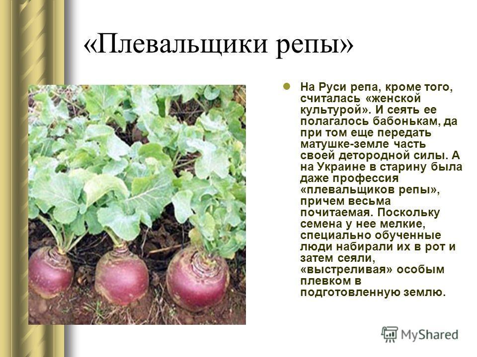 «Плевальщики репы» На Руси репа, кроме того, считалась «женской культурой». И сеять ее полагалось бабонькам, да при том еще передать матушке-земле часть своей детородной силы. А на Украине в старину была даже профессия «плевальщиков репы», причем вес