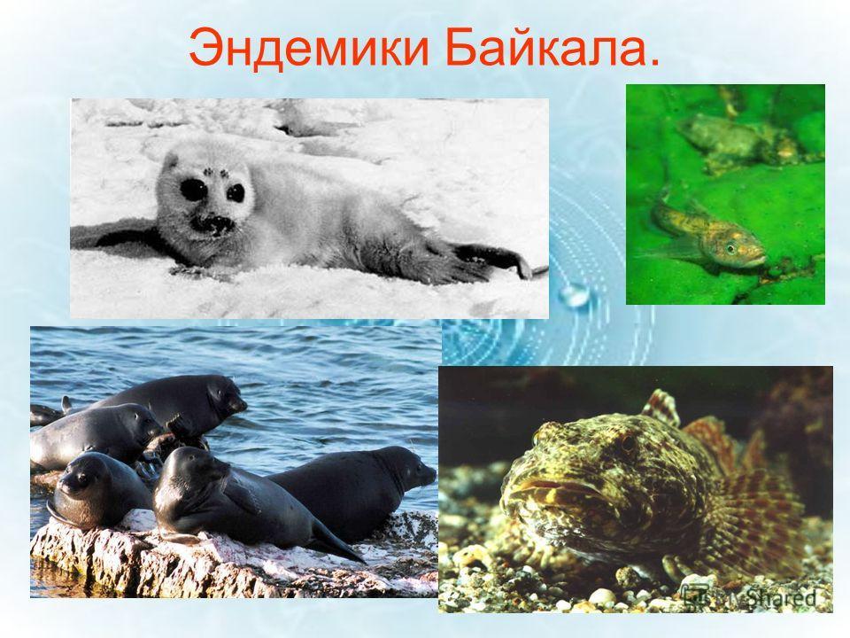 Эндемики Байкала.